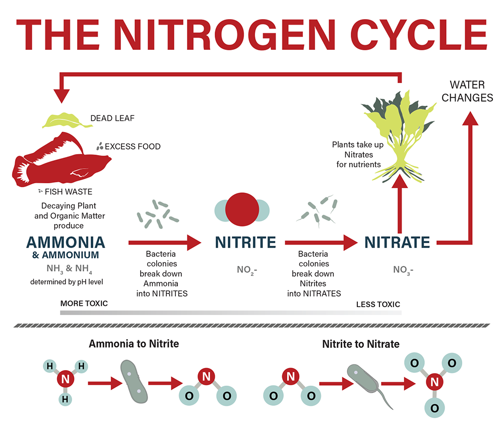 The aquarium nitrogen cycle ammonia ccuart