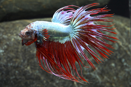 Crowntail dragonscale betta male lrg betta splendens for Crowntail betta fish