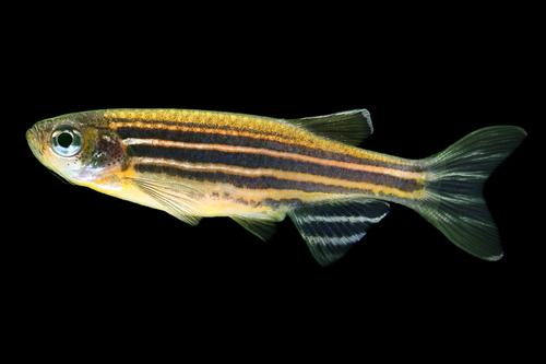 picture of Glofish® Striped Sunburst Orange® Danio Reg                                                          Brachydanio rerio