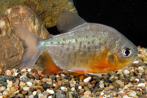 picture of Red Belly Pacu Med                                                                                   Colossoma bidens