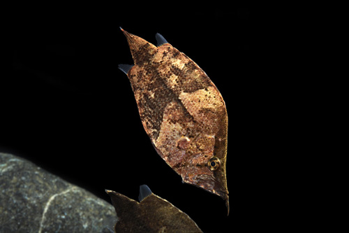 picture of Leaf Fish SA Lrg                                                                                     Monocirrhus polyacanthus