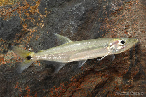 picture of Yellow Tail Barracuda Lrg                                                                            Acestrorhynchus falcatus