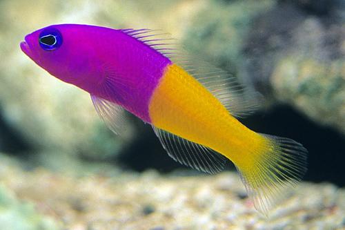 bicolor pseudochromis sml pictichromis paccagnella ...