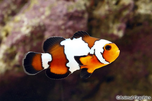 Black ice ocellaris clownfish tank raised med amphiprion for Clown fish care