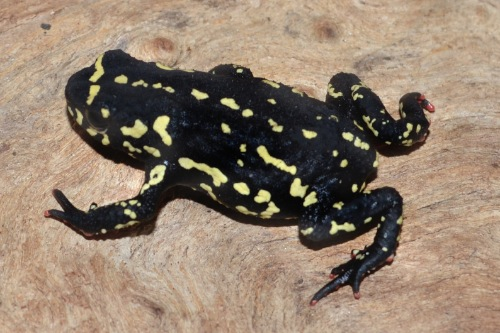picture of Bumblebee Toad Med                                                                                   Melanophryniscus stelzneri