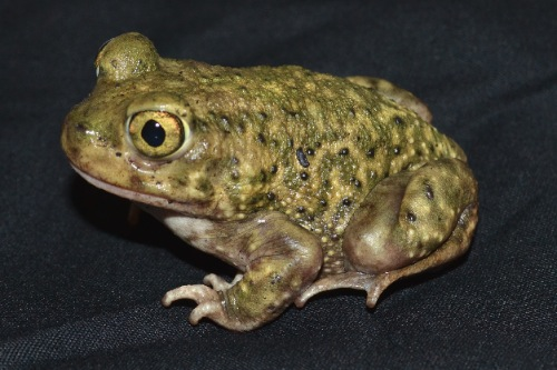 picture of Couchs Spadefoot Toad Med                                                                            Scaphiopus couchi