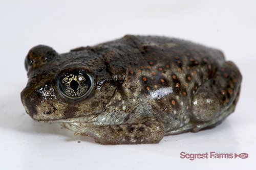 picture of Eastern Spadefoot Toad Sml                                                                           Scaphiopus holbrookii