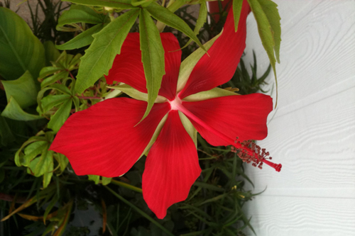 picture of Red Night Blooming Water Hibiscus Potted Reg                                                         Hibiscus acetosella